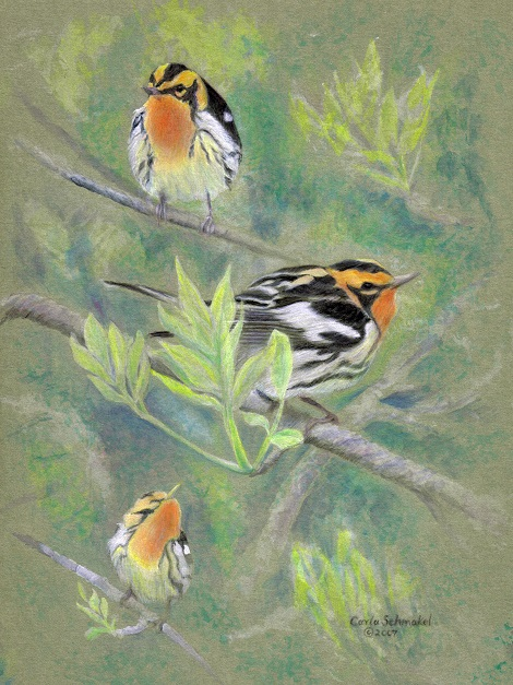 Blackburnian Warbler, ©Carla Schmakel