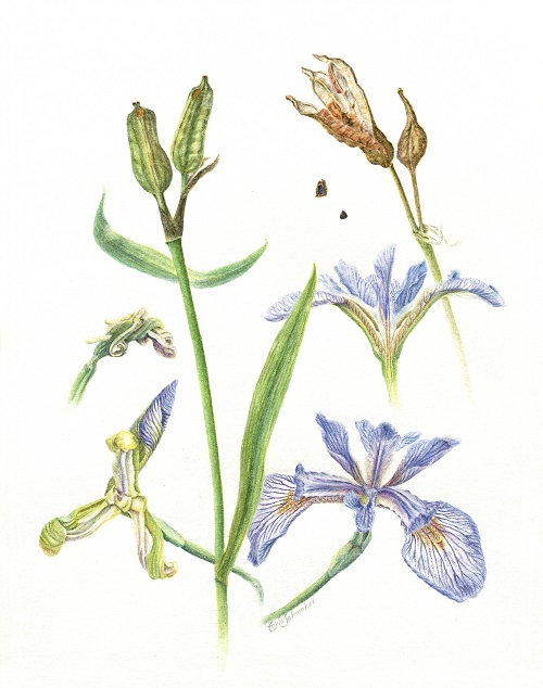 Blue Flag Iris, ©Carla Schmakel