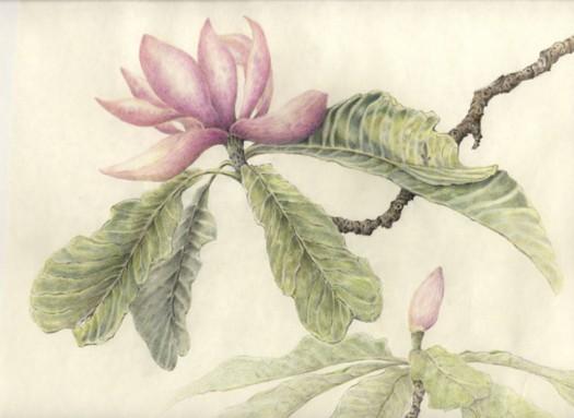 magnolia-copyright-nancy-wu