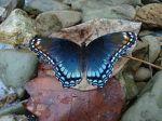 Red-Spotted Purple, Photo credit Wikipedia