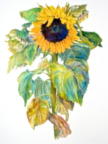 Sunflower, ©Beverly Behrens, Used With Permission