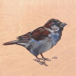 House Sparrow, copright Lindsay Sandbothe