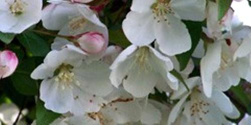 Spring Color, photo credit www.mortonarb.org