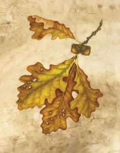 Bur Oak, Quercus macrocarpa, ©Wendy Brockman. Used with permission.