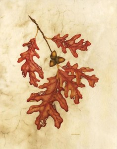 White Oak, Quercus alba, ©Wendy Brockman. Used with permission.