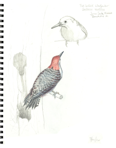 Redbellied Woodpecker Sketch, © 2016 Karen A. Johnson. Used with permission.