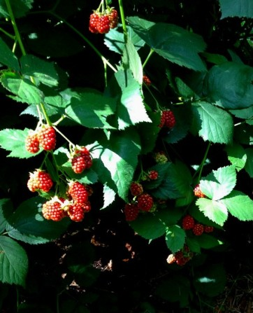 Sharon Malec's garden, ripening blackberries