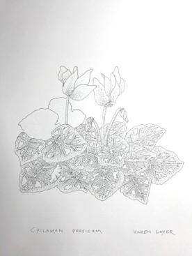 cyclamen-persicum-copyright-karen-loyer