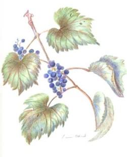 grape-vine-copyright-linn-eldred
