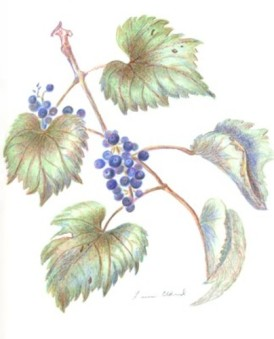 grape-vine-copyright-linn-eldred