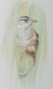 Marsh Wren, copyright Carla Schmakel