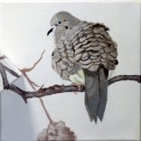 mourning-dove-copyright-evelyn-grala