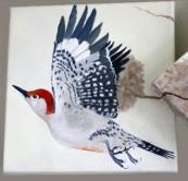 Red bellied Woodpecker, copyright Evelyn Grala