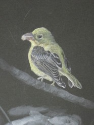 scarlet-tanager-unfinished-copyright-carla-schmakel
