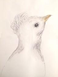 young-peacock-copyright-carolyn-abramofsky