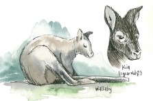 Wallaby, copyright Carrie Carlson
