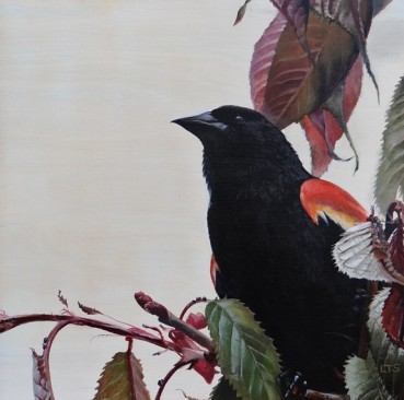 Red-winged Blackbird, copyright 2018 Lindsay Sandbothe
