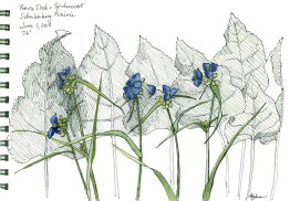 Spiderwort, copyright 2018, Karen A. Johnson. Please click on the image to go to Karen's Nature Art for more.