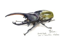 Spring Encounter 2020, Hercules Beetle, copyright Karen A Johnson