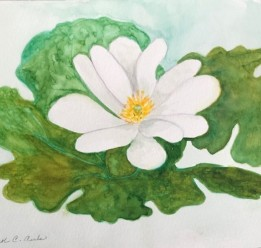 2020 Nature Artists' Guild flower, copyright Carol Carls