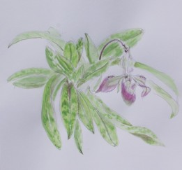 2020 Nature Artists' Guild, Orchid, copyright Arlene Widrevitz