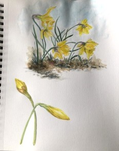 Nature Artists' Guild 2020 Spring Encounter, Daffodils, copyright Nancy Wu