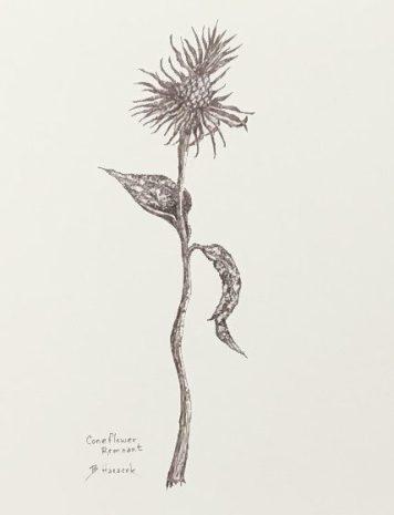 Coneflower Remnant, copyright Bernadette Hanacek
