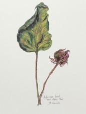 Hibiscus leaf and seed pod, copyright Bernadette Hanacek