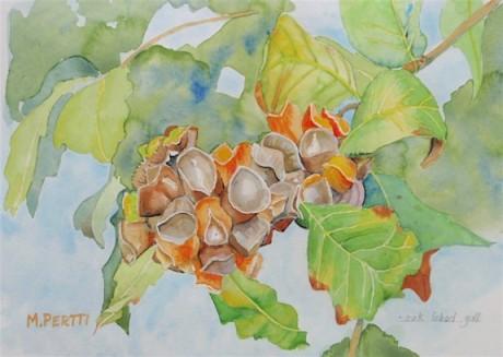 Oak Lobed Gall, copyright Marilyn Peretti