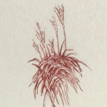Autumn grasses sketch, copyright Denise Fisk
