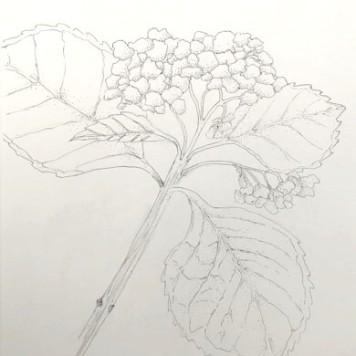Hydrangea, copyright Karen Loyer