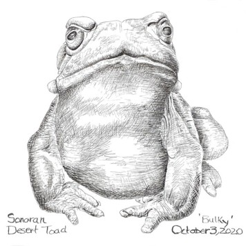 Sonoran Desert Toad - Bulky, copyright Jane Kellenberger
