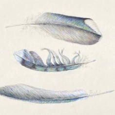Blue Jay Feathers, color pencil and ink, copyright Jane Kellenberger
