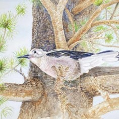 Colorado Gray Jay, watercolor, copyright Jane Kellenberger