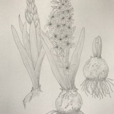 Hyacinthus orientalis, pen and ink, graphics, copyright Karen Loyer