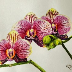 Magenta Lined Orchids, watercolor, copyright Kathi Kuchler