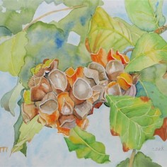 Oak Lobed Gall, watercolor, copyright Marilyn Peretti