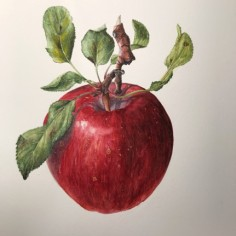 'Pazazz' apple, watercolor, copyright Kumie Kim