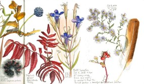 Sketchbook with Fringed gentian, copyright Karen Johnson
