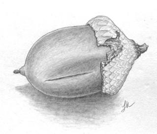 Acorn, copyright Lisa Kanellos
