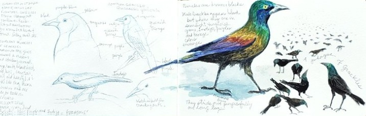 Sketchbook pages, grackles, copyright Kathy Belletire