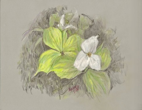 Trillium sketch, copyright Marlene Vitek