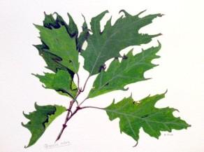 Quercus rubra, copyright Jean Black